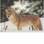 2D lőlap Coyote