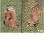 2D lőlap Mormota és Nyúl